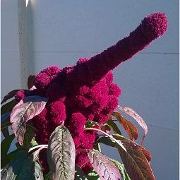 fleur rouge doigt