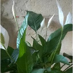 ma plante en fleurs