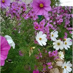 cosmos du jardin