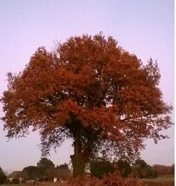 le chêne de ma promenade