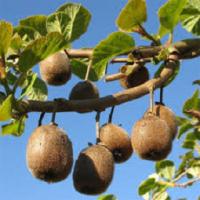 Santé Feng Shui, pensez aux kiwis de France, un fruit d'hiver super vitaminé.