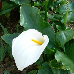 un arum en fleur