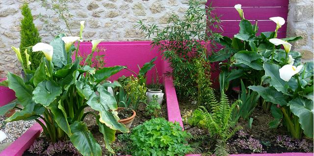 les arums dans les bacs plantés l'année dernière.