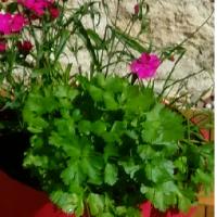 Le Persil dans la maison, la terrasse ou le jardin : c'est un trésor pour la santé, Feng Shui Jardin.