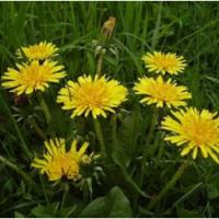 Le Pissenlit, les tiges de ses fleurs ont des vertus très curatives.