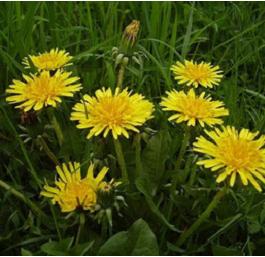 pissenlits en fleurs