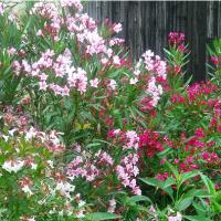 Jardin Feng Shui, les lauriers roses en fleurs.