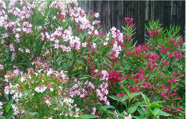 les lauriers roses de mon jardin Feng Shui