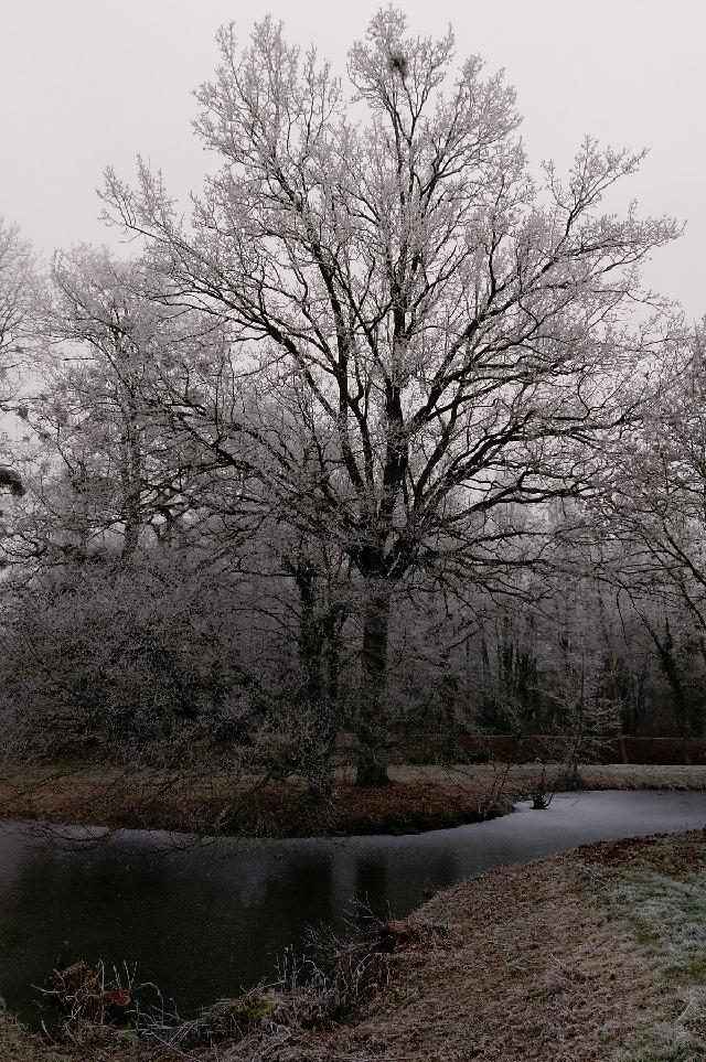 Le chêne de ce matin, le premier Janvier 2017