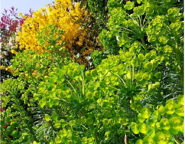 Jardin Feng Shui Les Euphorbes Les Plantes Vivaces Le Blog Du Fengshui