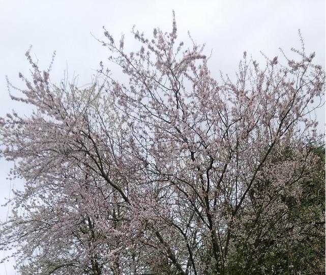 pruniers-en-fleurs