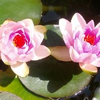 Les nénuphars en fleurs, jardin Feng Shui .