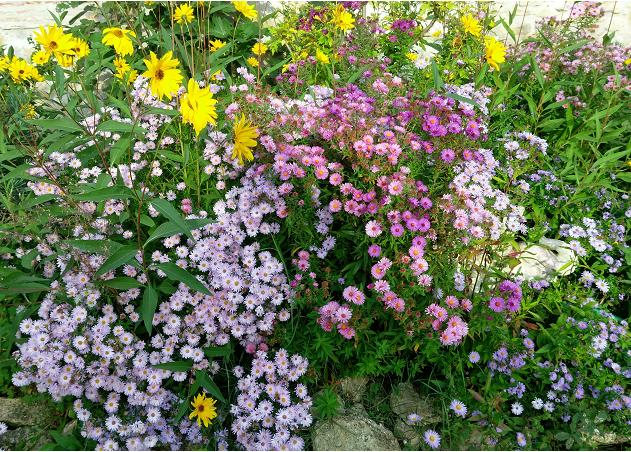 Mon Jardin Feng Shui Les Asters En Pleine Floraison Le