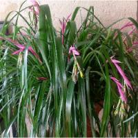 Feng Shui Décoration, les plantes fleuries dans la maison, la Billbergia Nutans en fleurs.