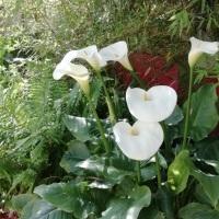 Feng Shui Jardin, les nouveaux Arums fleurissent .